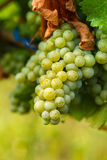 Ripening grapes on the vine. Closeup of ripening chardonnay white grapes on a vine in the vineyard Stock Photos