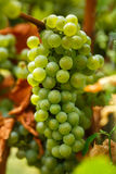 Ripening grapes on the vine. Closeup of ripening chardonnay white grapes on a vine in the vineyard Royalty Free Stock Photography