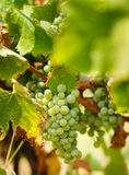 Ripening grapes on the vine Royalty Free Stock Photography