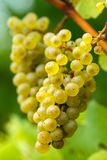 Ripening grapes on the vine Royalty Free Stock Photos