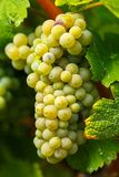 Ripening grapes on the vine Royalty Free Stock Images