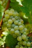 Ripening grapes on the vine Stock Images