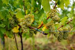 Ripening grapes on the vine Royalty Free Stock Image