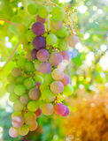 Ripening grapes on the vine Stock Image