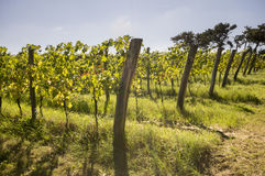 Ripening grapes in the vineyard Stock Photo