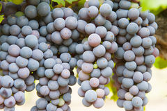 Ripening grapes. Zinfandel wine grapes slowly ripening under California sun Royalty Free Stock Images