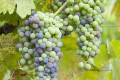 Ripening grapes. Zinfandel wine grapes turning green to blue in California vineyard, Mendocino County Royalty Free Stock Photo
