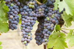 Ripening grapes Royalty Free Stock Images