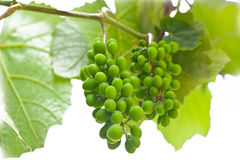Ripening green grape Royalty Free Stock Photos