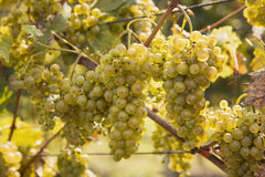 Ripening green grape Royalty Free Stock Photo