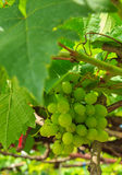 Ripening Green Grape Stock Images