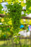 Ripening Green Grape Stock Photo
