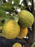 Oranges. Ripening Green Oranges stock photos