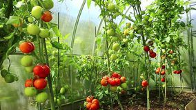 Ripening green and red tomatoes in a greenhouse stock footage