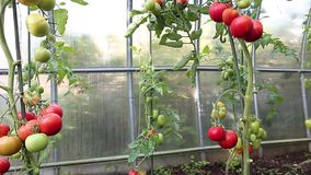 Ripening green and red tomatoes in a greenhouse stock video