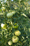 Ripening Green Tomatoes. Domestic grown tomatoes ripening in the sunshine Stock Image