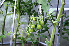 Ripening green tomatoes Stock Images