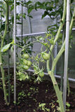 Ripening green tomatoes Royalty Free Stock Image