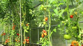 Ripening green tomatoes in a greenhouse stock footage