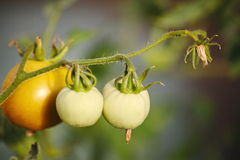 Ripening in the greenhouse on country garden tomatoes, fruit, vegetable, among green leaves on a branch of a plant. Royalty Free Stock Photography