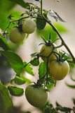 Ripening in the greenhouse on country garden tomatoes, fruit, vegetable, among green leaves on a branch of a plant. Stock Photos