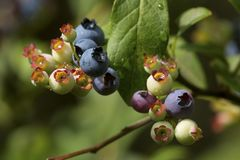 Ripening highbush blueberries in a New Hampshire bog. Northern highbush blueberries, Vaccinium corymbosum, in the Philbrick-Cricenti Bog in New London, New royalty free stock image