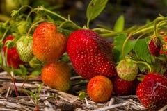 ripening jordgubbar Fotografering för Bildbyråer