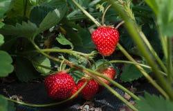 ripening jordgubbar Arkivbild