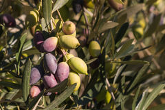 Ripening Kalamata olives on olive tree Royalty Free Stock Photography