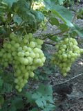 Ripening large bunches of grapes in the vineyard. stock photo