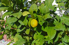 A Lemon Citrus Tree - Nearly Ripe Royalty Free Stock Image