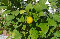A Lemon Citrus Tree - Nearly Ripe Royalty Free Stock Image