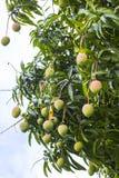 Ripening Mangoes Royalty Free Stock Images