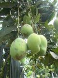 Ripening mangoes on tree 4. Bunches of ripening mangoes fruit on leafy tree Royalty Free Stock Photos