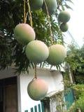 Ripening mangoes on tree 2. Bunches of ripening mango fruit on leafy tree Royalty Free Stock Photo