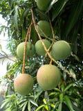 Ripening mangoes on tree. Bunches of ripening mango fruit on leafy tree Stock Image