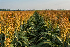 Ripening Milo (Sorghum) Field. Rows of ripening milo or sorghum plants.  Sorghum is a gluten-free grain Royalty Free Stock Images