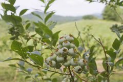 Ripening Mountain Blueberries Stock Photos