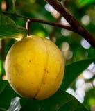 Ripening nutmeg fruit in its tree Royalty Free Stock Images