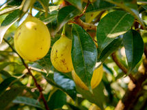 Ripening nutmeg fruits in its tree Stock Images