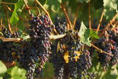 Ripening Okanagan Wine Grapes Stock Image
