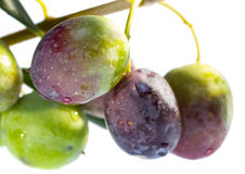 Ripening olives on branch. Stock Photo