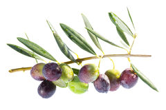 Ripening olives on branch. Stock Images