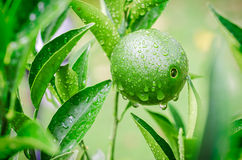 Ripening orange with waterdrops growing in the tree Royalty Free Stock Images