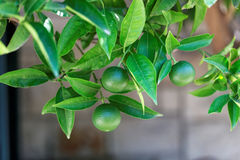 Ripening oranges on a branch of orange tree - Croatia, island Brac Stock Photo