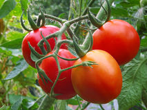 Ripening organic tomatoes. Ripening organic tomatoes on a vegetable bed into the garden royalty free stock photos