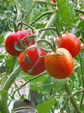 Ripening organic tomatoes. Ripening organic tomatoes on a vegetable bed into the garden Stock Photo