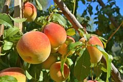 Ripening Peaches. Peaches ripening on a tree in late August Royalty Free Stock Photography