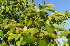 Ripening fruit of the fruit tree pear in the garden against the blue sky stock photos