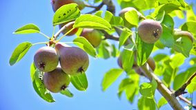Ripening pear on a tree stock footage